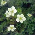"""Potentilla"" by FTMcKinstry"