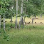 """""""Elk herd in the Rockies"""" by EdmondHogge"""