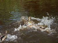 DUCK FIGHT! And what a fight!     (shot today)