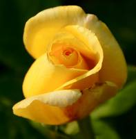 A Yellow Rosebud