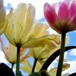 """Tulip 2"" by AmandaGrace"