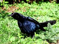 Male Boat Tailed Grackle