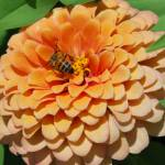 """Bee on Zinnia 1"" by AmandaGrace"