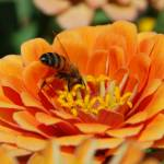 """Bee on Zinnia 2"" by AmandaGrace"