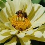 """Bee on Zinnia 4"" by AmandaGrace"