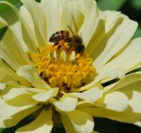 Bee on Zinnia 4