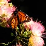 """""""Monarch on the Mimosa"""" by LjTaft"""