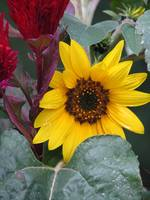 GardenSunflower