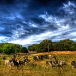"""Cows"" by lifesightphotos"