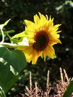 maternal sunflower