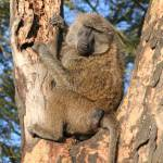 """""""Baboon in a tree"""" by michellemorrisphotography"""