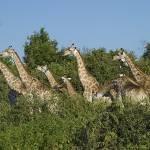 """""""giraffes"""" by justjanz"""