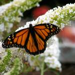 """Monarch"" by naturephotos"
