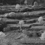 """Vineyards and Cherry Trees"" by fotosnostock"