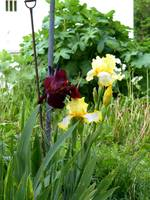 Yellow and Black Iris