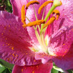 """OFFICE ART Prints Floral Pink Lily Flower Art"" by BasleeTroutman"