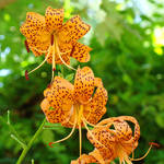 """BOTANICAL Orange Tiger Lilies Art Prints"" by BasleeTroutman"