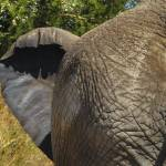 """Afrcan elephant"" by justjanz"