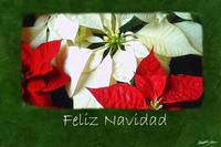 Mixed Color Poinsettias 2 - Feliz Navidad