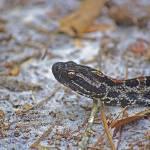 """""""Dusky Pygmy Rattlesnake"""" by albink"""