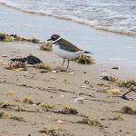 """The Lone Sand Piper"" by ghardesty"