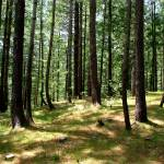 """Cool Pine Forests nathiagali IMG_900706"" by davies"