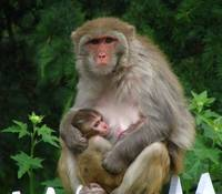 Mother monkey with baby nathiagali IMG_924510