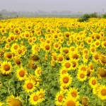 """Field of Sunflowers - sindh sunfowers18"" by davies"