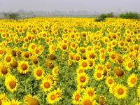 Field of Sunflowers - sindh sunfowers18