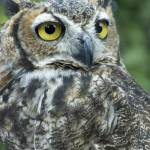 """""""Great Horned Owl"""" by SolLeonard"""