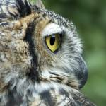 """""""Great Horned Owl 2 copy"""" by SolLeonard"""