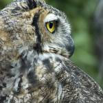 """""""Great Horned Owl 2"""" by SolLeonard"""
