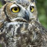 """""""Great Horned Owl 3"""" by SolLeonard"""