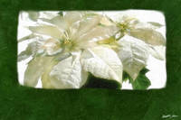 White Poinsettias 2