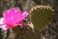 Desert Cactus Bloom, Zion National Park