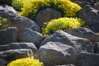 Rocks, Flowers and a Rock Chuck