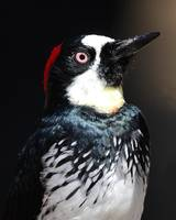 Profile of an Acorn Woodpecker Bird