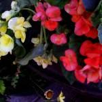 """""""*Garden Begonias"""" by patriciaschnepf"""