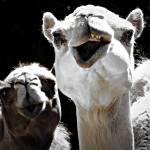 """Camel"" by lafleurerouge"