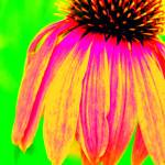 """flower coneflower adjustedpix 015"" by joshyb1973"