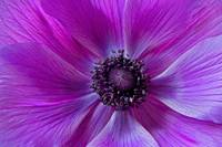 Purple Poppy Flower
