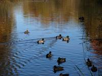 Oh, my mallard ducks 4 (Interesting?)