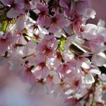 """Cherry Blossom"" by cre8ivepix"