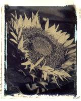 Sunflower #5