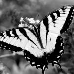 """Swallow Tail Butterfly on Buterfly Black and White"" by faf1967"