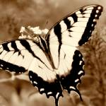 """Swallow Tail Butterfly on Buterfly Sepia"" by faf1967"