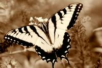 Swallow Tail Butterfly on Buterfly Sepia