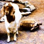 """The Story of the Tortoise and the Goat"" by johncorney"