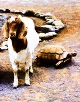 The Story of the Tortoise and the Goat