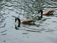 Ducks on the lake of Ontario